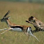 Cheetah chasing an impala through a grassy plain