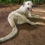 A dog with a really long tail lies on a dirt path in the woods.